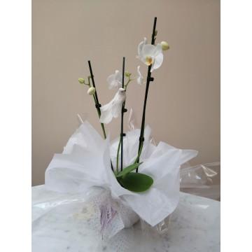 Phal Blanca con palomitas