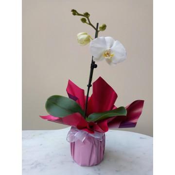 Planta orquídea mini